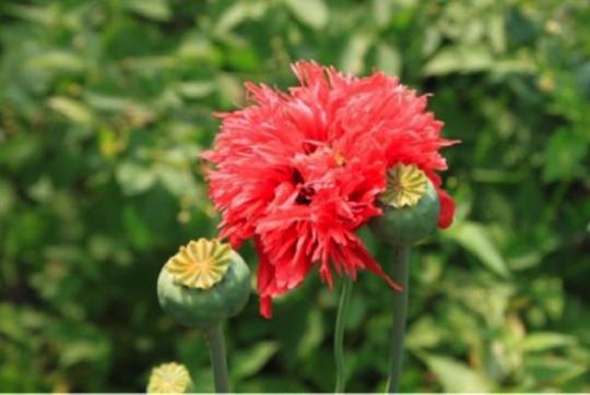 OpiumPoppyFlower