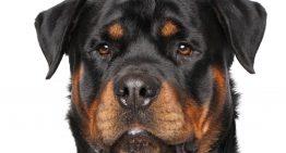 120-pound Rottweiler shoots owner with shotgun